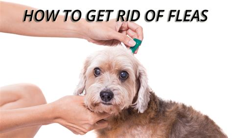 how to get rid of fleas on bed how to get rid of fleas in bed 28 images fleas in