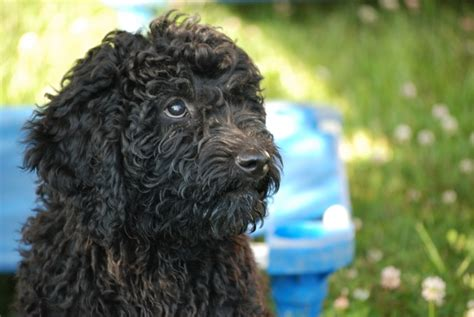 barbet puppies for sale puppies for sale in ontario rover barbets