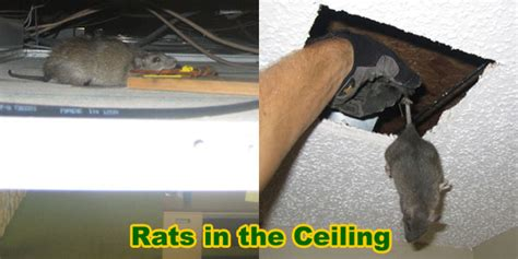 signs of rats in house signs you have a rat in your house the best rat of 2018