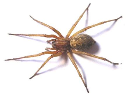 House Spider Seattle by Aggressive House Spider Pictures
