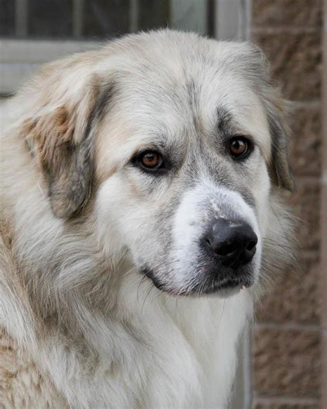golden retriever pyrenees mix for sale dogs for sale puppies for sale terrific pets autos post