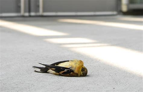 why birds hit windows and how you can help prevent it