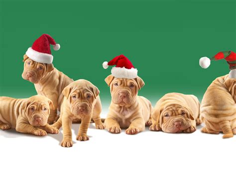 christmas wallpaper with puppies english cat christmas puppies hd wallpapers