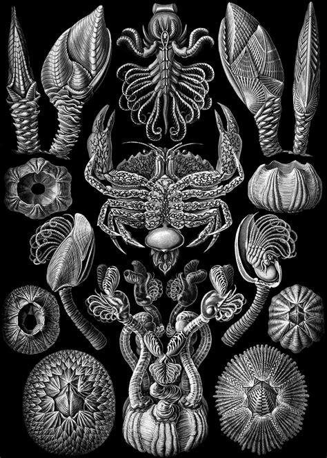 art forms in nature 3791319906 file haeckel cirripedia jpg wikipedia