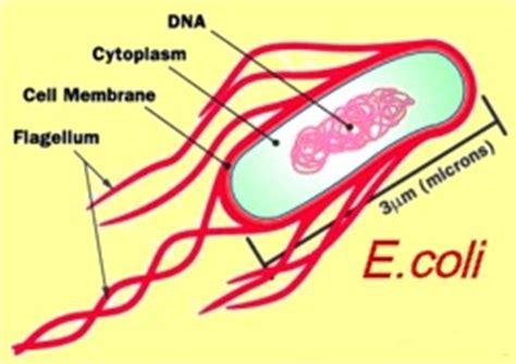 water e coli escherichia coli