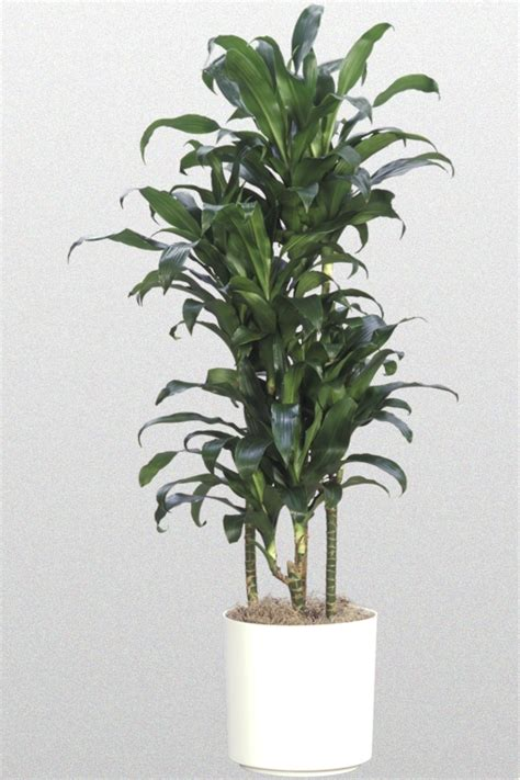 foliage plant care 14 in dracaena deremensis michiko