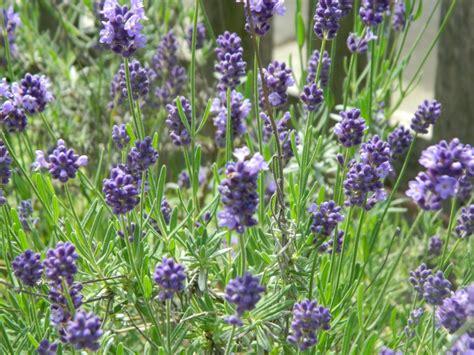 grow lavender