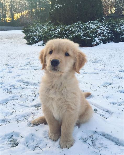 how to take care of golden retriever best 25 golden retriever puppies ideas on
