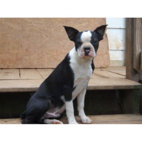 boston terrier puppies maryland pony tails kennels boston terrier breeder in woodbine