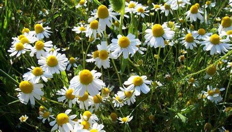 camomilla in fiore un fiore di camomilla per rilassarci venti