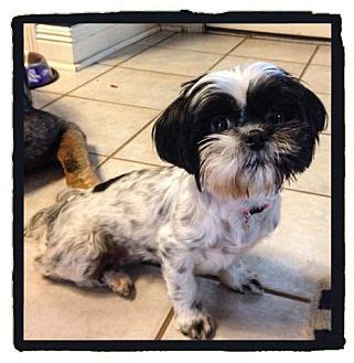 shih tzu baton baton la shih tzu meet pepper a for adoption