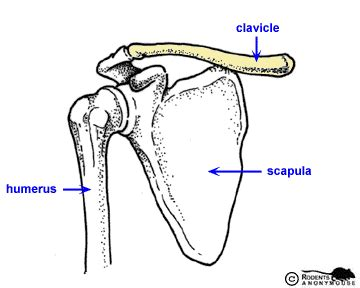 diagram of collar bone science project a j
