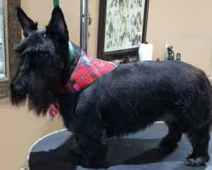 different cuts for scotties dog groomers 45 years experience paws n pearls