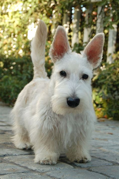 scottie dogs 17 best images about scottish terriers are magical on tartan show
