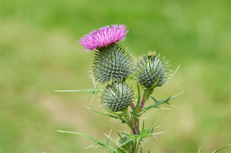 Canada Gardening Zones - bull thistle removal how to get rid of bull thistle weeds