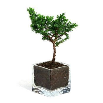 Bonsai Wedding Giveaways - 62 best images about wedding with bonsai on pinterest small japanese garden