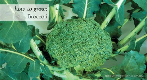 how to grow a garden in the winter how to grow broccoli soil preparation harvesting pest