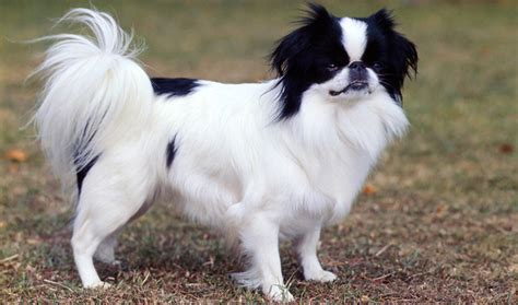 japanese breeds those 8 small breeds are the cutest thing in the world urdogs