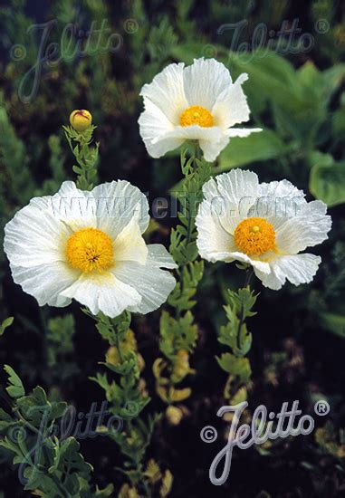 jelitto perennial seed romneya coulteri portion s