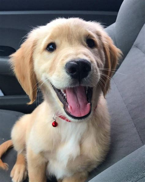 happy golden retriever puppy best 20 happy dogs ideas on traveling with dogs smiling dogs and pups