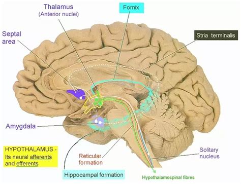 the largest section of the brain is the what is the biggest part of the human brain what is its