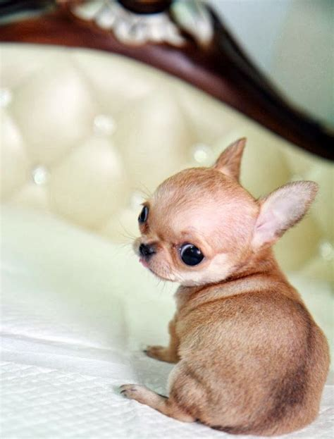 chi puppy 12 reasons why you should never own chihuahua