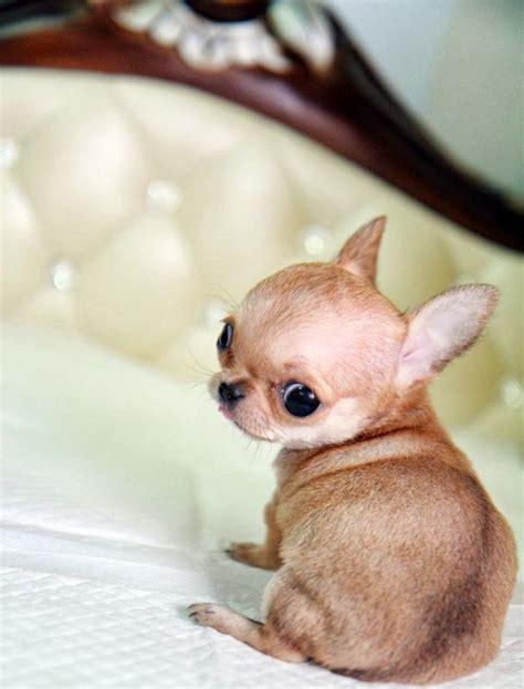 chiuaua puppies 12 reasons why you should never own chihuahua