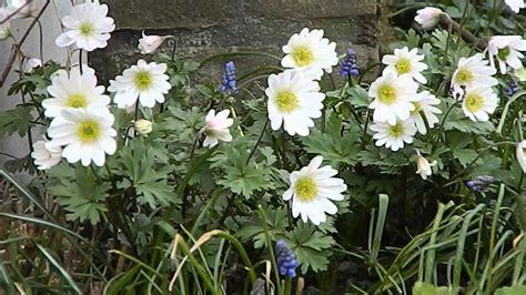 anemone blanda anemone blanda white splendour youtube