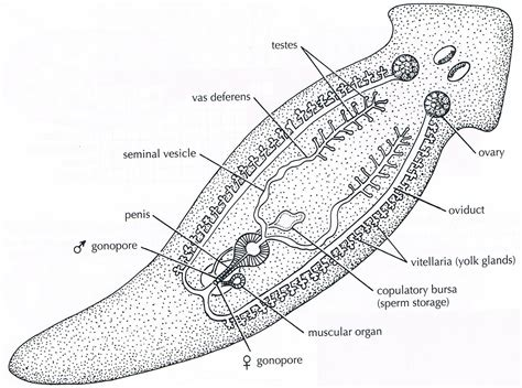 flatworm diagram flatworm anatomy