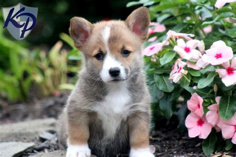 pembroke corgi puppies for sale puppies pembroke corgi for sale breeds picture