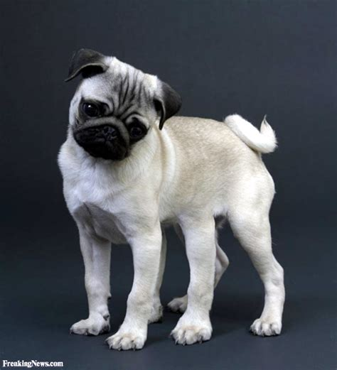 pug allergic reaction pug pictures freaking news