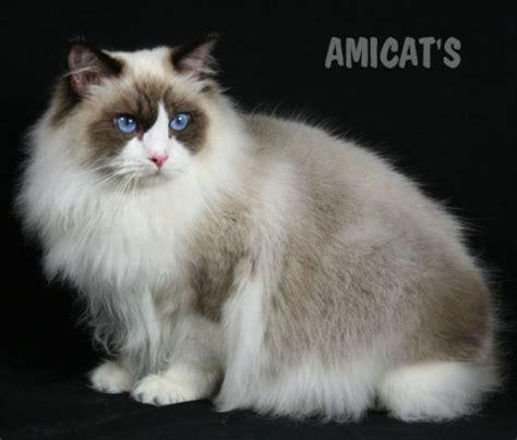 ragdoll que significa petclube filhotes c 227 es bully gatos gigantes criadores