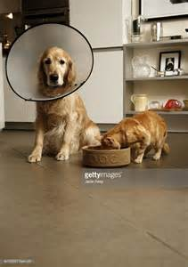 dog eating from bowl stock photo getty images golden retriever dog with medical collar sitting next to