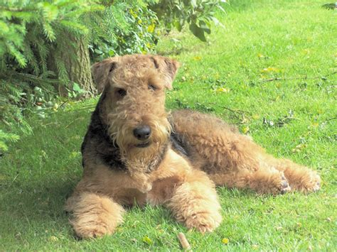 airedale puppies puppies list pictures