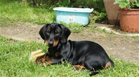 standard dachshund puppies standard dachshund puppies last boy available corby northtonshire pets4homes