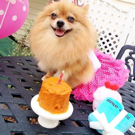 pomeranian birthday 12 things that make pomeranians happy