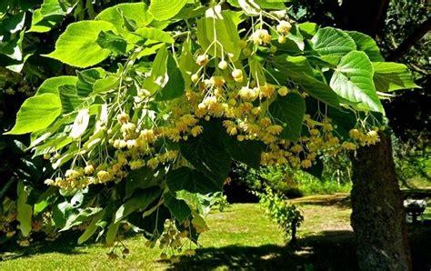 fiori di tiglio fiori di tiglio fiori delle piante caratteristiche dei