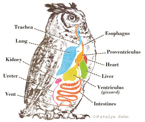 snowy owl diagram from the mouths of owls i toed ungulates