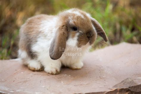 coniglietti nani alimentazione alimentazione coniglio nano ariete 28 images coniglio