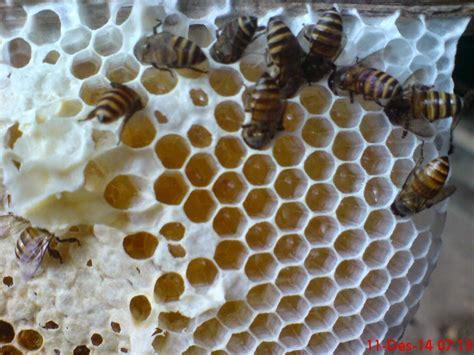 Madu Murni Asli Dari Muria jual madu murni asli ternak klanceng lebah madu di