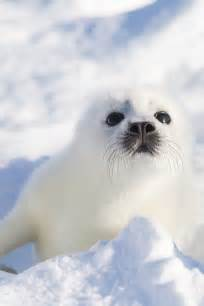 baby seal cub best 25 seals ideas on