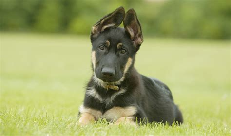 how do german shepherds live puppy northern virginia