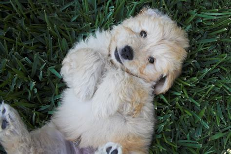 goldendoodle puppy pictures goldendoodle puppy pictures goldendoodle puppy 0111