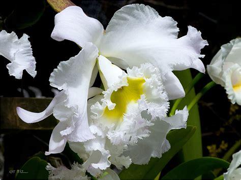 imagenes licras blancas orquideas blancas gallery