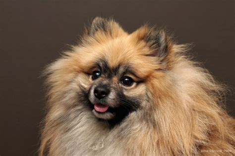origin of pomeranian pomeranian history many