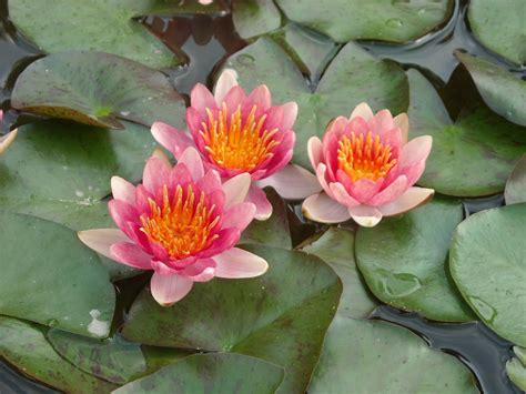 imagenes de flores acuaticas las plantas imagenes de plantas