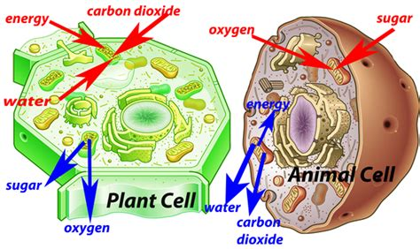 plant and animal cells diagram 302 found