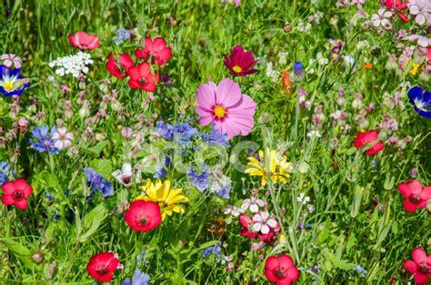 wilde bloemen in duitsland kleurrijke weiland met wilde bloemen in de zomer stockfoto