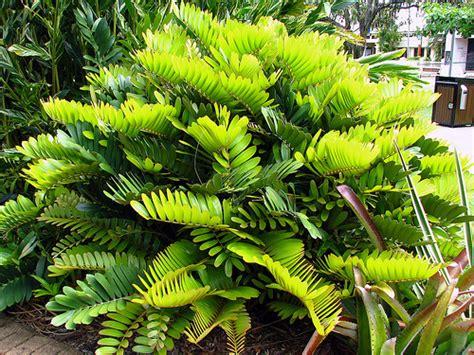garden foliage plants cardboard palm zamia furfuracea