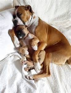 Cute baby boxer puppy 171 cute and funny pet photos of dogs cats